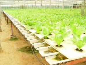 hydroponic-lettuce